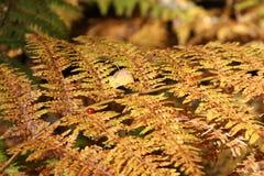 在一棵黄色蕨的一只瓢虫 库存图片