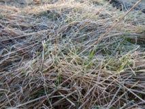 在一棵冻草的早晨霜 免版税库存图片