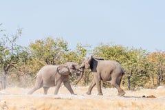 在一次假装战斗的两头幼小非洲大象公牛 免版税库存图片