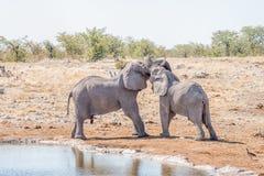 在一次假装战斗的两头幼小非洲大象公牛 免版税图库摄影