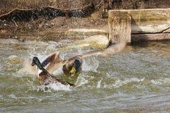 在一次剧烈的战斗的两只鸭子 库存图片