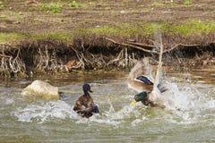 在一次剧烈的战斗的两只鸭子 免版税库存照片