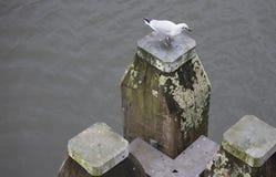 在一次木民意测验的一只海鸥在阿姆斯特丹运河,荷兰 免版税库存图片