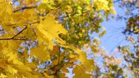 在一次树枝特写镜头飞行的秋天枫叶在反对天空蔚蓝的风 股票录像