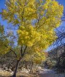 在一次河洗涤旁边的老三角叶杨树在西南的峡谷 免版税图库摄影