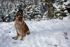 在一次远足的德国牧羊犬狗在森林 免版税库存图片