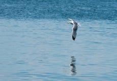 在一次飞行的海鸥在海上 免版税库存照片