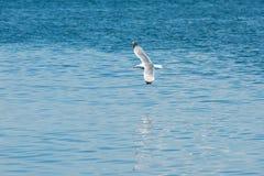 在一次飞行的海鸥在海上 库存图片