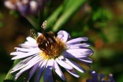 在一清楚的晴朗的温暖的天期间,一只美丽的蜂收集在一朵柔和的领域花的蜂蜜, 库存图片