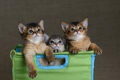 在一灰色backround的三只逗人喜爱的索马里小猫 图库摄影