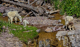 在一点山溪的石山羊 库存图片