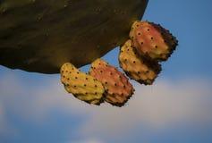 在一片仙人掌叶子的多仙人掌果子在马耳他海岛- 2019年2月的原野;新鲜,有机,成熟,水多和健 免版税库存照片
