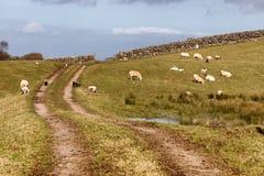 在一片农田的绵羊在港湾Corrib的西部方式足迹 免版税库存图片