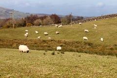 在一片农田的绵羊在港湾Corrib的西部方式足迹 库存图片
