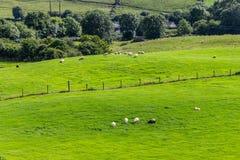 在一片农田的绵羊牧群在从Castlebar的林荫道路路线到W 免版税库存图片