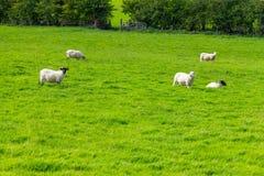 在一片农田的绵羊牧群在从Castlebar的林荫道路路线到W 库存照片