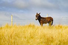 在一片农田的驴在从Castlebar的林荫道路路线到Westp 免版税图库摄影