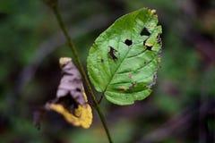 在一片凋枯的黄色叶子旁边的一片残破的绿色叶子反对blurre 免版税库存照片