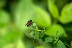 在一片叶子的一只甲虫本质上 免版税库存图片
