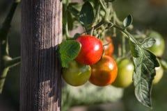在一片叶子的小蕃茄在晴朗的庭院里 库存照片