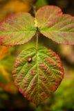 在一片叶子的瓢虫在迷宫 库存照片