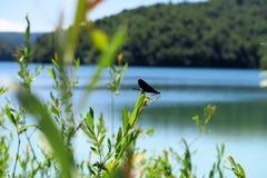 在一片叶子的蜻蜓在克罗地亚` s普利特维采湖群国家公园 免版税库存照片