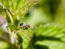 在一片叶子顶部的一个绿色装甲的臭虫有它的眼睛的在清楚的焦点 库存图片