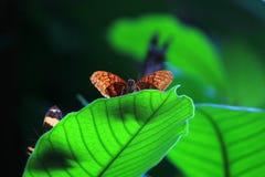 在一片大绿色叶子的布朗蝴蝶 免版税图库摄影