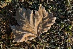 在一片干燥下落的叶子的早晨霜秋天在Kalemegdan公园,贝尔格莱德 免版税库存图片