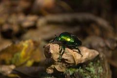 在一片干燥叶子的大绿色甲虫 库存图片