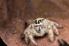在一片干燥叶子的跳跃的蜘蛛Hyllus 免版税库存图片