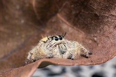 在一片干燥叶子的跳跃的蜘蛛Hyllus 库存照片