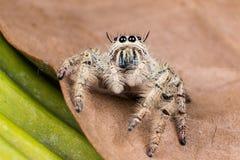 在一片干燥叶子的跳跃的蜘蛛Hyllus 免版税图库摄影