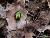 在一片干燥棕色叶子的大绿色甲虫 库存图片