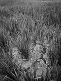 在一片干稻田的破裂的土壤 库存图片
