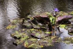 在一片开花的睡莲叶的热带雨下落在夏威夷 库存照片