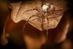 在一片棕色秋天叶子的布朗蜘蛛在黑暗的背景中 免版税图库摄影
