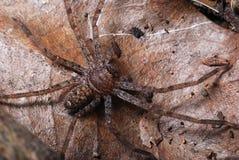 在一片死的下落的叶子的布朗蜘蛛 库存照片