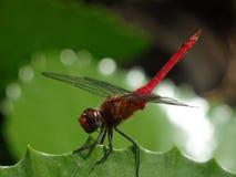 在一片池塘叶子的惊人的蜻蜓在加勒比 图库摄影