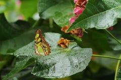 在一片湿叶子的一只美丽的绿沸铜蝴蝶 免版税库存图片