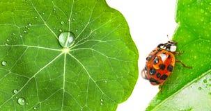 在一片满地露水的叶子的瓢虫 图库摄影