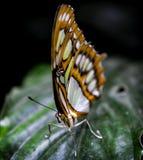 在一片热带叶子的蝴蝶 库存图片