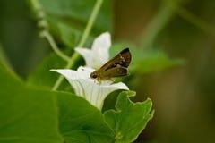 在一片白色野花和绿色叶子的大飞蛾季风 免版税库存图片