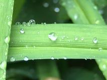 在一片稀薄的叶子的小滴 库存图片