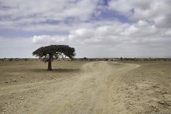 在一片空的沙漠的孤立树 库存图片