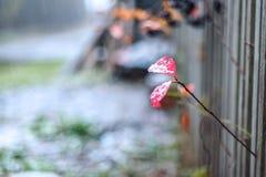 在一片红色秋天叶子的第一霜 免版税库存照片