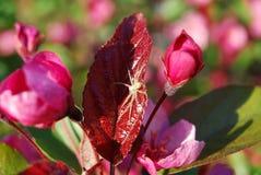 在一片红色苹果叶子的蜘蛛 免版税库存图片