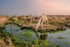 在一片绿洲附近的骆驼在科威特沙漠 库存图片