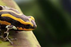 在一片绿色叶子的一只五颜六色的青蛙 树荫黑和绿色在背景中 图库摄影