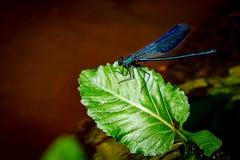 在一片绿色叶子的一只蓝色蜻蜓 免版税图库摄影